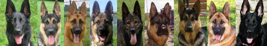 colors of german shepherds, pictures EZ Brook