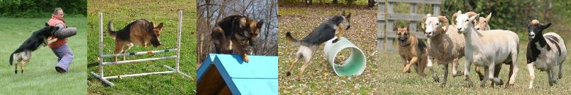 sport performance dogs german shepherds