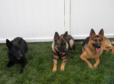 colors of german shepherds